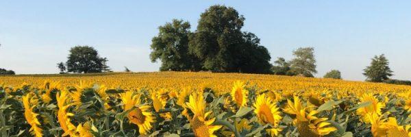 sunflowers blue sky